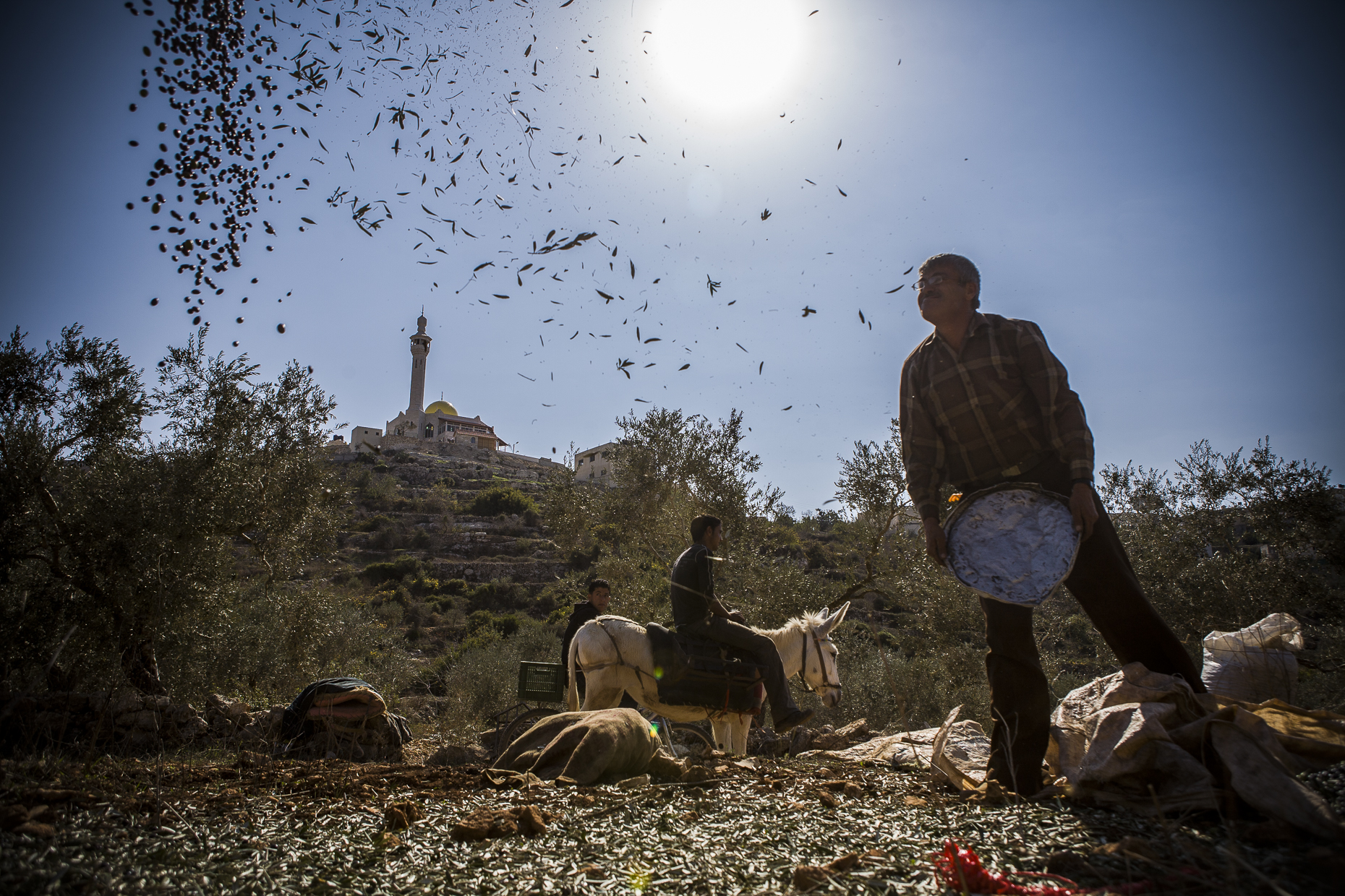Olive farmer, West Bank